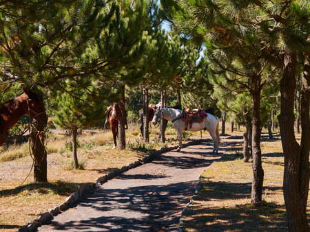 Horses of Mexican pilgrims, rest tied to the trees of the forest near the Popocatepetl Volcano, Izta-Popo Zoquiapan National Park, Mexico Stok Fotoğraf