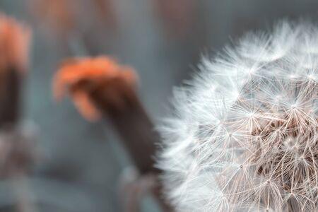 Dandelion flower head detailed closeup