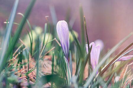 Purple Crocus Vernus with closed flowers in alpine forest