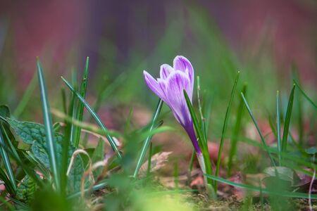 Crocus Vernus flower undergrowth the alpine forest