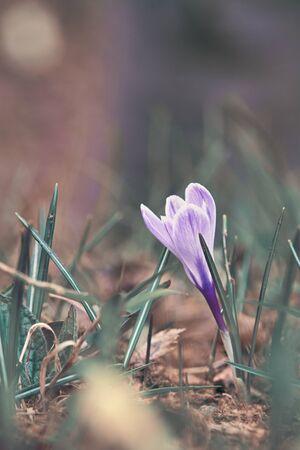 One Crocus Vernus flower undergrowth the alpine forest