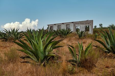 Cultivation of Agave americana in Mexico used to produce the Pulque
