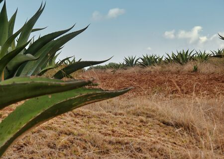 Cultivation of Agave americana or Maguey in Mexico