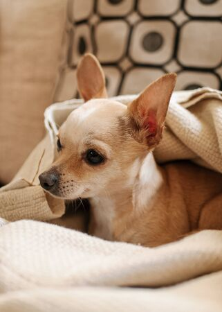 Little Chihuahua under the covers above the sofa looks at what the master does, portrait of a small dog