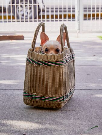 Small female chihuahua dog pokes his head from inside shopping bag in the entrance of the house