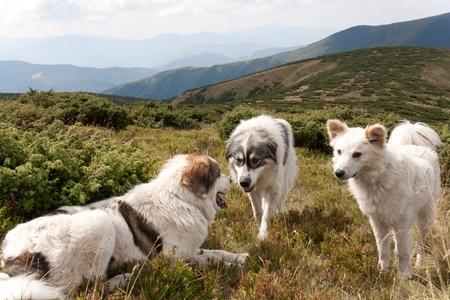 カルパティア山脈の山の羊飼い