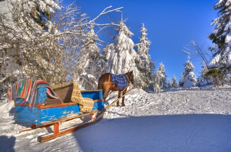 A horse and cart are in the snow-bound fir-trees of Carpathians photo