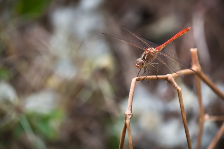 Red dragon-fly on a thin grass