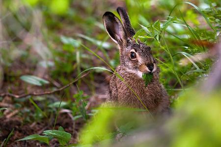 Hare eats plants