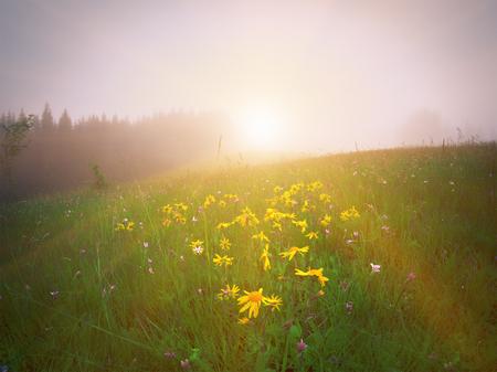 山の緑の牧草地に黄色の花 写真素材