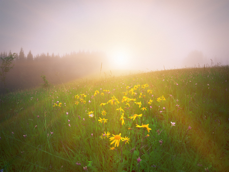 Yellow flowers on green meadow in mountains