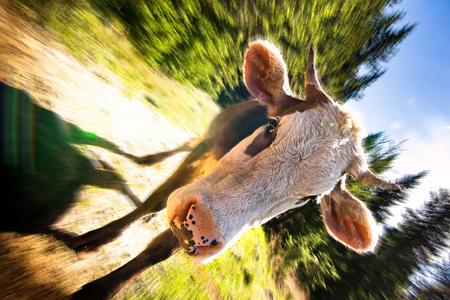 Funny cattle on sunny meadow Zdjęcie Seryjne