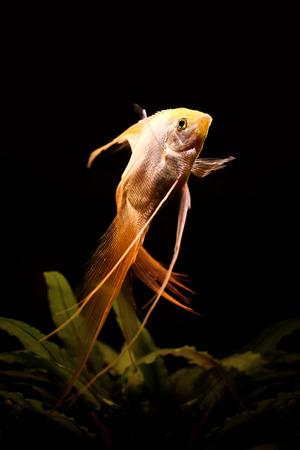 White skalyariya aquarian fish, American Cichlidae Zdjęcie Seryjne