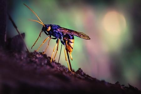 オオスズメバチは木の樹皮の下で卵を産む 写真素材 - 85350171