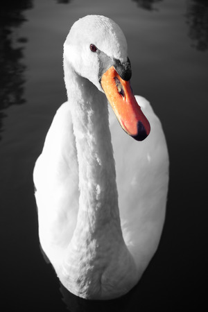 Swan portrait on water, curious swan on the lake