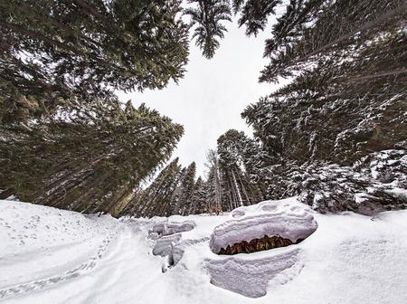 森の中の雪のヒキガエル