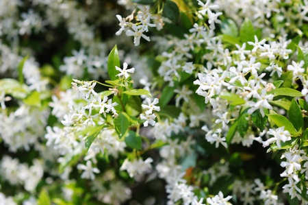 fragrant: Close up of blooming jasmine bush