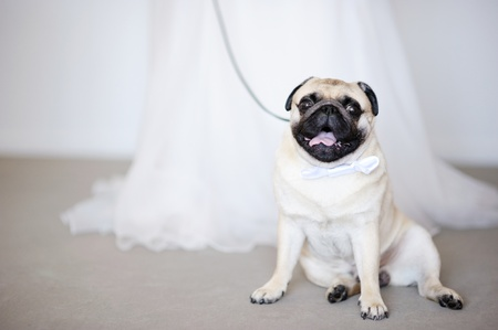 Funny dog with a bow at wedding photo