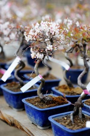 Row of bonsai trees at a japanese garden Stock Photo - 12791666