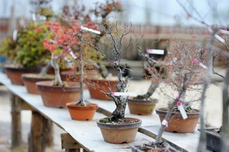 Row of bonsai trees at a japanese garden photo