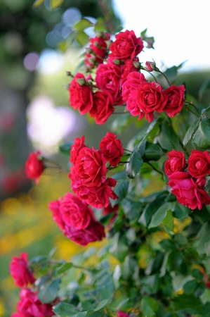 Detail of red roses bush as floral background photo