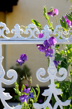 Sweet pea blossoming at a white fence Stock Photo - 12791878