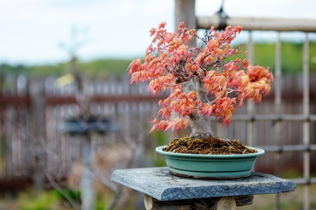 Red bonsai tree at a japanese garden photo