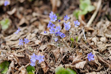 hepatica: Early spring hepatica flower in blossom