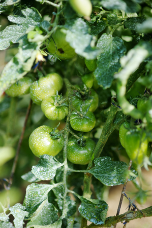 infections: Tomato plant sprayed with protective mixture against infections