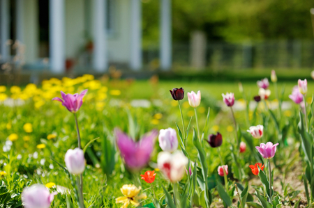 front house: Beautiful colorful tulips in front of a big house
