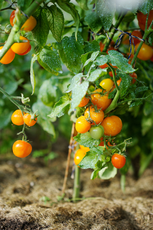 fungal disease: Tomato plant sprayed with protective mixture against infections