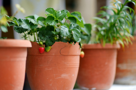 big flower: Strawberries growing in big flower pot Stock Photo