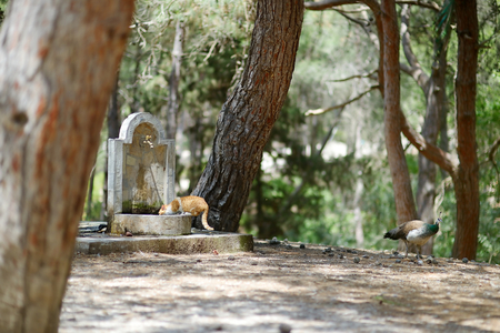 coexist: Peacocks and cats living together in Plaka forest on Kos Stock Photo