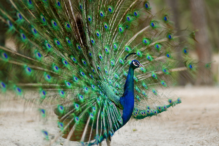 flaunt: Beautiful peacock displaying his plumage Stock Photo