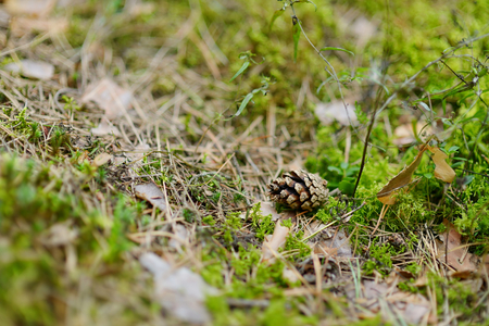 pinecone: A pinecone on the ground in autumn forest
