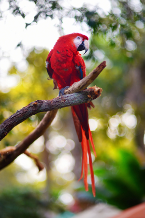 maccaw: Red macaw parrot sitting on a branch Stock Photo