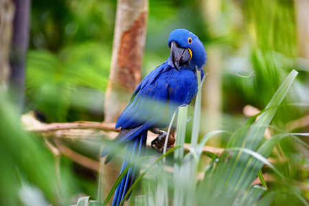 mccaw: Blue macaw parrot sitting on a branch