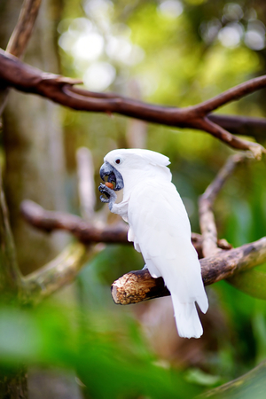 squawk: White cockatoo parrot sitting on a branch Stock Photo