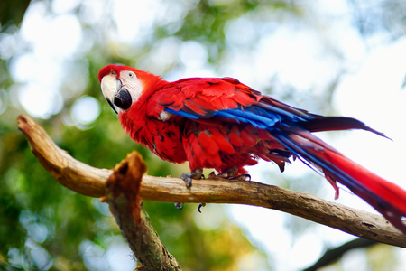 mccaw: Red macaw parrot sitting on a branch Stock Photo