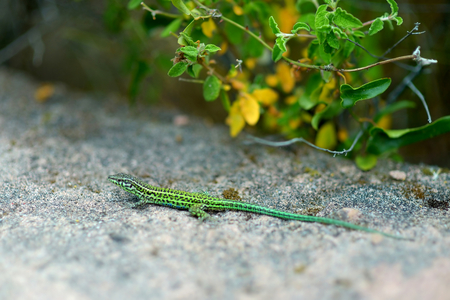 lizzard: Small green lizard on his way