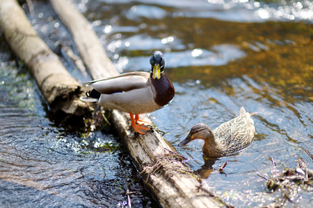 two ducks: Two ducks in a river at summer Stock Photo