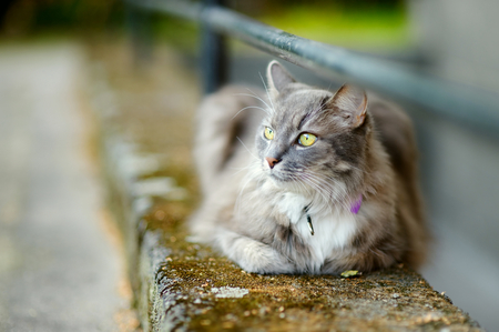 doorstep: Beautiful gray cat laying by a doorstep Stock Photo