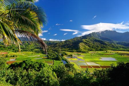 hawaii: Taro fields in beautiful Hanalei Valley on Kauai island, Hawaii