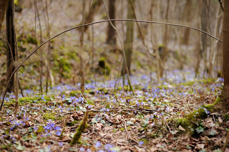 hepatica: Blossoming hepatica flower in early spring in forest