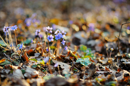 Blossoming hepatica flower in early spring in forest photo