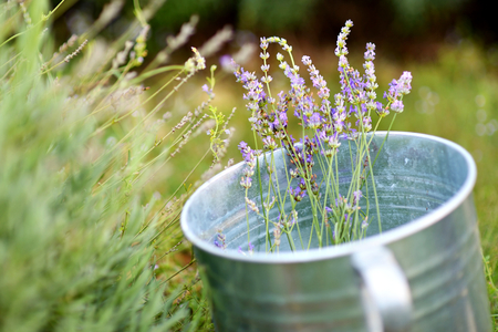 Some lavender in a metal bucket photo