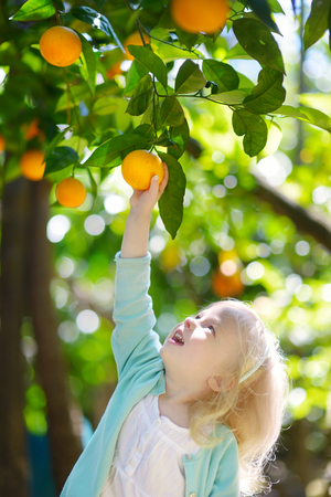 Adorable little girl picking fresh ripe oranges in sunny orange tree garden in Italy