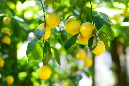 El manojo de limones frescos maduros en una rama de árbol de limón en jardín soleado Foto de archivo