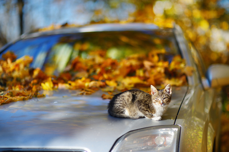 autumn cat: Cat sitting on a car on sunny autumn day Stock Photo