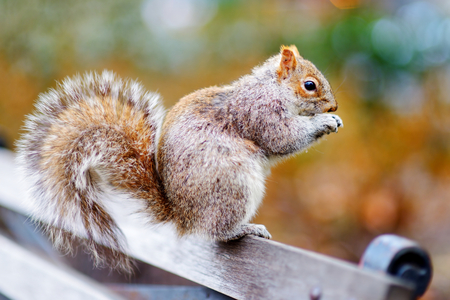 acorn squirrel: Eastern gray squirrel in Central Park in New York, USA Stock Photo
